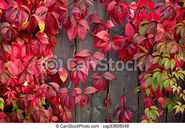 Red autumn leaves on a wall, background - csp33808048