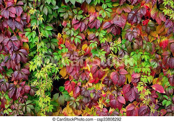 Red autumn leaves on a wall, background - csp33808292