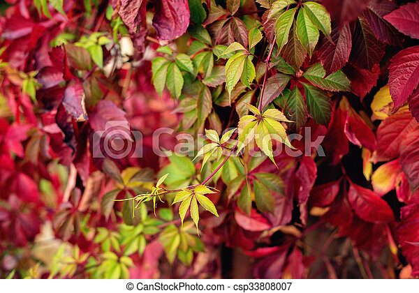 Red autumn leaves on a wall, background - csp33808007