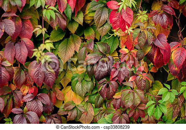 Red autumn leaves on a wall, background - csp33808239