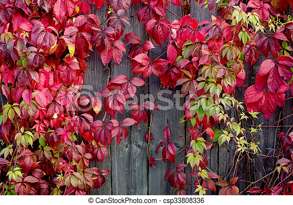 Red autumn leaves on a wall, background - csp33808336