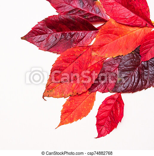 red autumn leaves on a white background - csp74882768