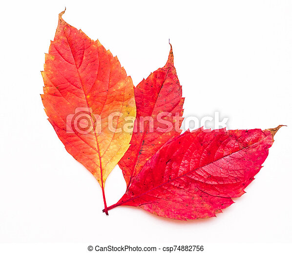 red autumn leaves on a white background - csp74882756