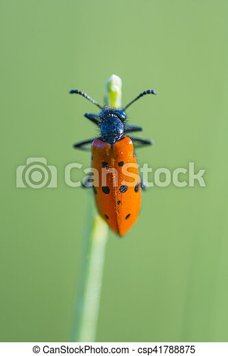 red beetle with black dots