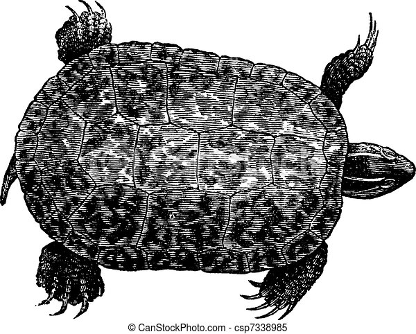Red-bellied turtle (ptychemys rugosa), vintage engraving. - csp7338985