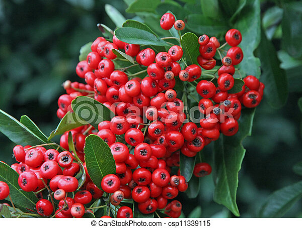 Poisonous Red Berries In A Green Bush In Winter