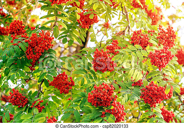 Red berries of mountain ash in the sunlight - csp82020133