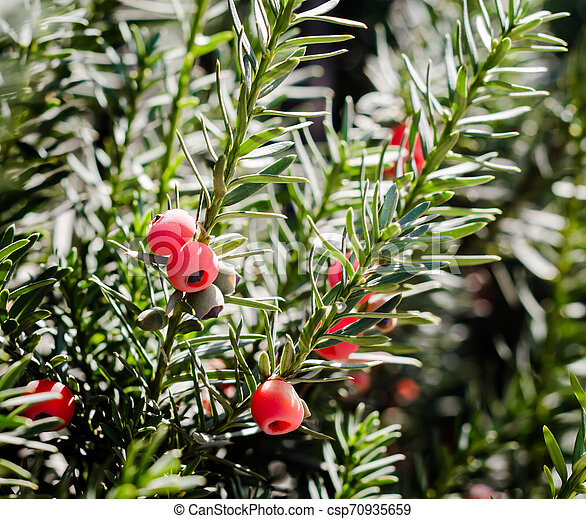 red berries on a branch with green leaves - csp70935659