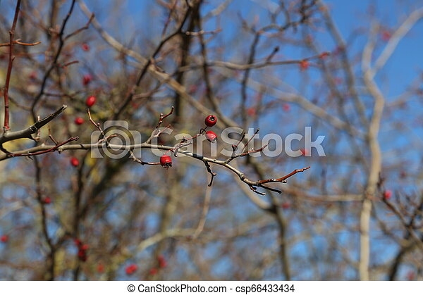 Red berries on branches of bushes in the forest - csp66433434