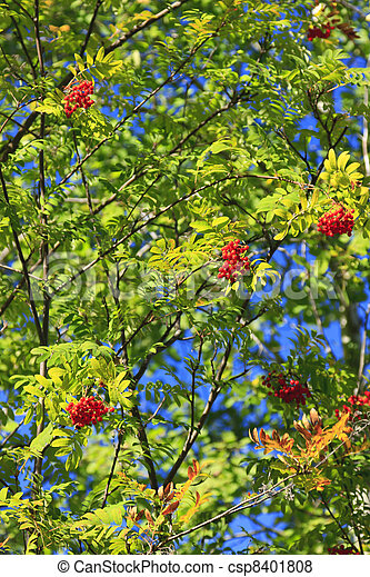 Red Berries On Tree Small Red Rowan Berries On The Branches Of A