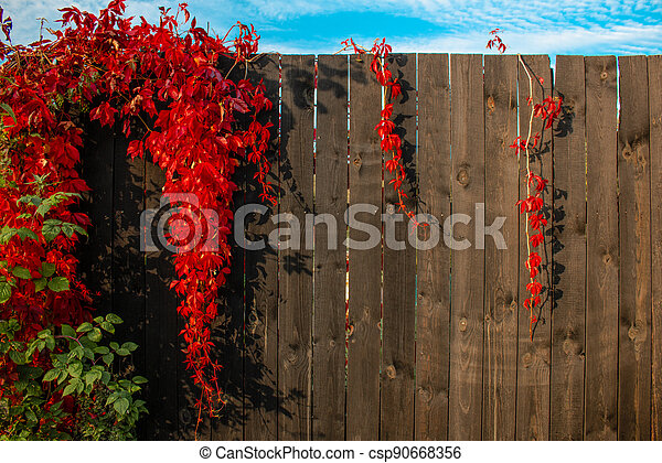 Red Boston ivy on the background of a brown wooden fence - csp90668356