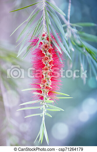 Red bottle-brush tree (Callistemon) flower - csp71264179