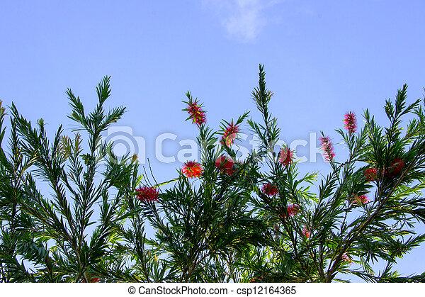 Red bottle brush tree flower - csp12164365