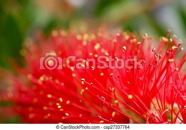 Red Bottle Brush Tree Flower - csp27337764