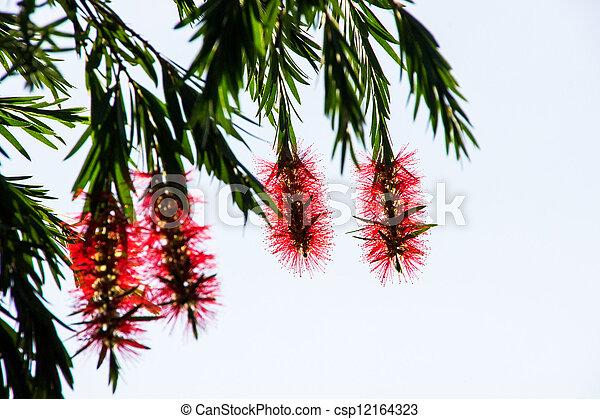 Red bottle brush tree flower - csp12164323