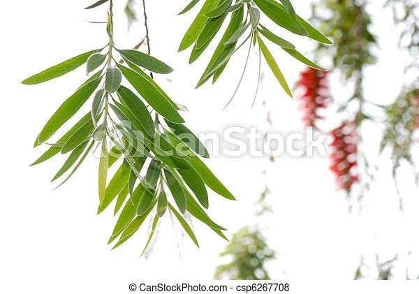 Red bottle brush tree - csp6267708