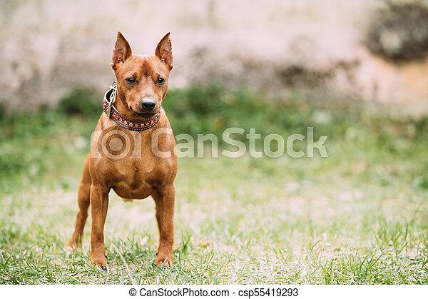 red brown miniature pinscher pincher min pin zwergpinscher dog