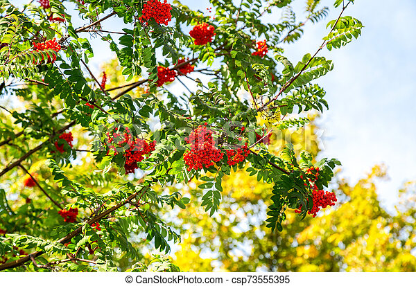 Red bunches of rowan against the blue sky - csp73555395