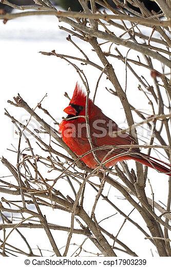 Red Cardinal After Snowstorm - csp17903239