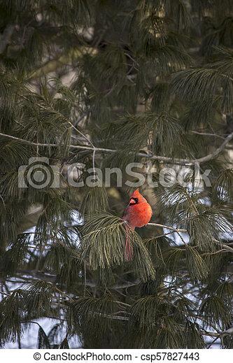 Red Cardinal bird in tree - csp57827443