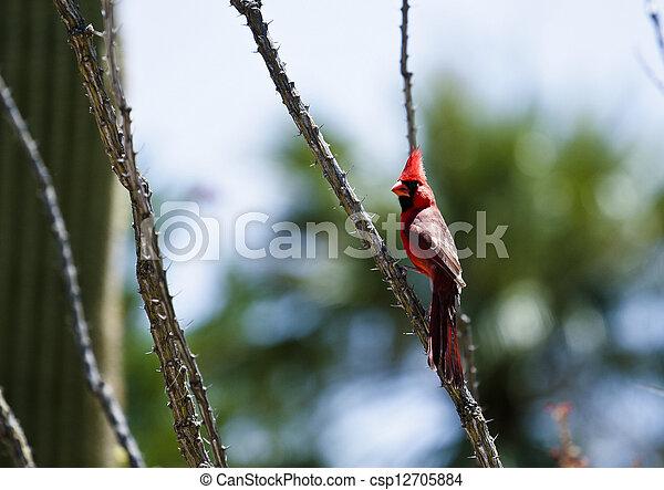 Red Cardinal Bird - csp12705884