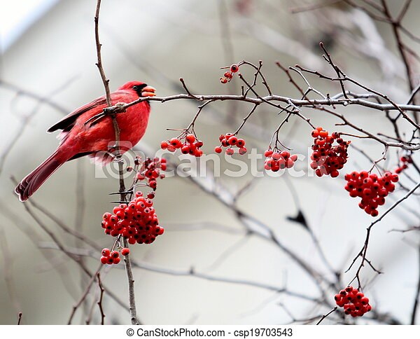 Red Cardinal in a Tree - csp19703543