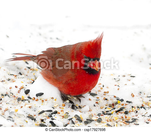 Red Cardinal in Snow - csp17927698