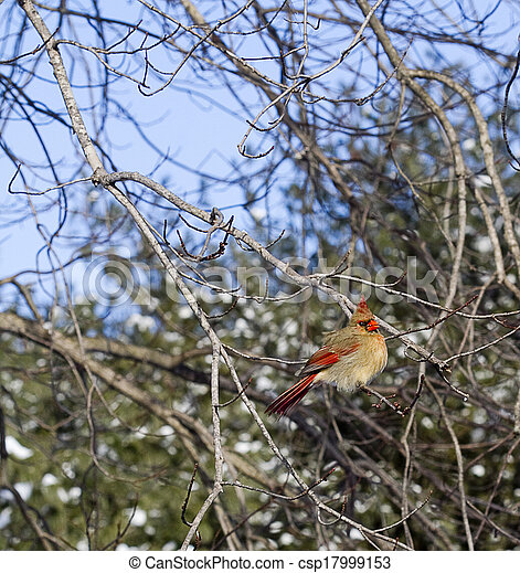 Red Cardinal in Tree - csp17999153