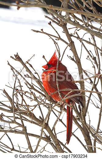 Red Cardinal Nestled in Branches - csp17903234