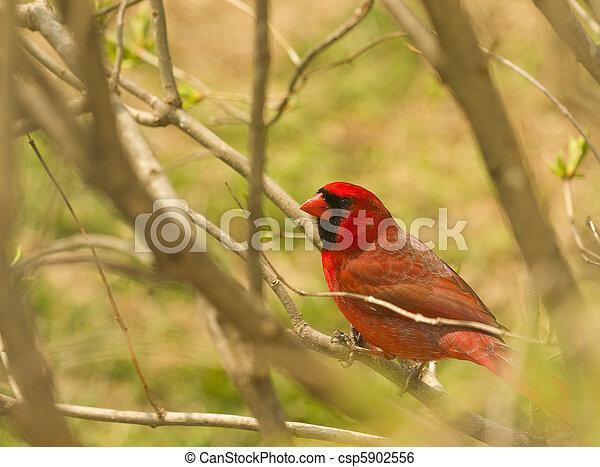 Red Cardinal One - csp5902556