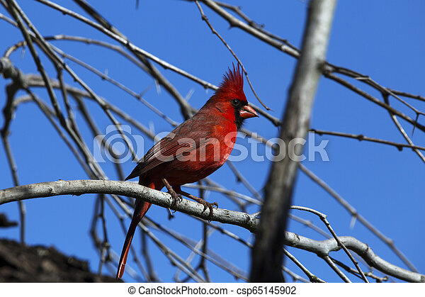 Red Cardinal Perched in a Tree - csp65145902