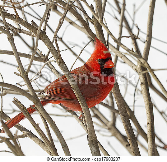 Red Cardinal Snuggled in Branches - csp17903207
