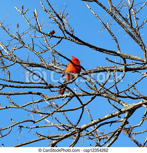 Red Cardinal - csp12354262