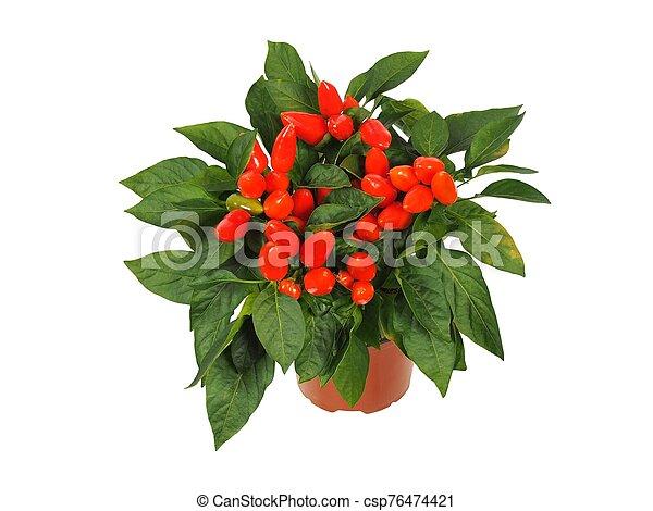 Red cayenne pepper in a pot - csp76474421