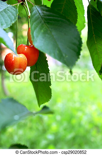 red cherries with leaves - csp29020852