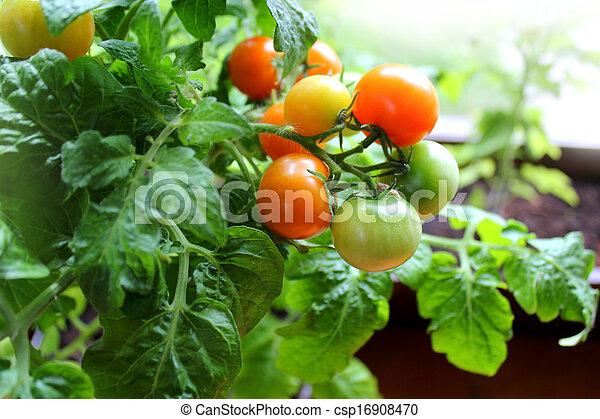Red cherry tomatoes  - csp16908470