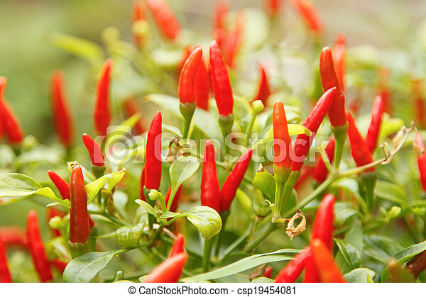 Red chili pepper plant - csp19454081