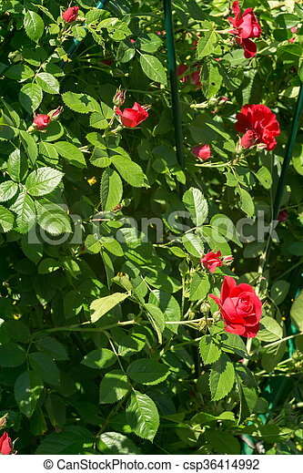 Red Climbing Rose Red Roses Climb A Rose Arbor In The Garden