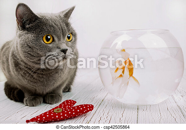 Red cloth heart lies before grey British Shorthair and aquarium with golden  fish