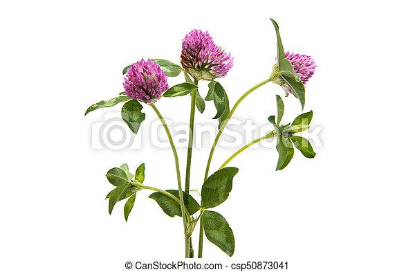 Red Clover (Trifolium pratense) - csp50873041