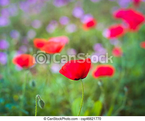 Red Corn Poppy in a Wildflower Field - csp46621770