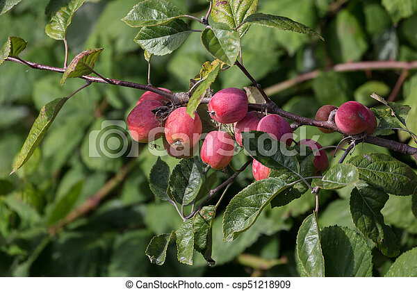 Crabapple Tree With Fruit