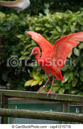 Red Crested Ibis - csp41215716