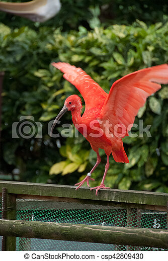 Red Crested Ibis - csp42809430