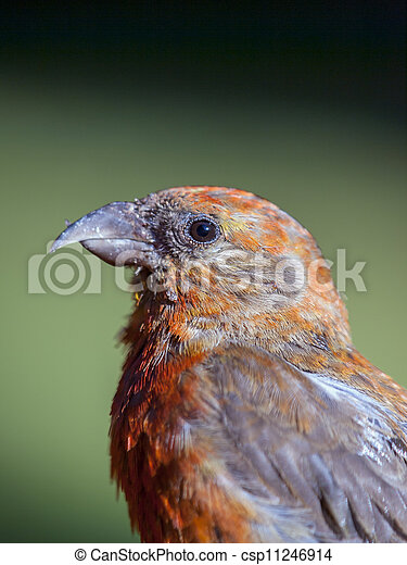 Red Crossbill - csp11246914