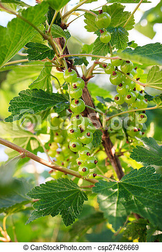 Red currant berries ripening on bush - csp27426669
