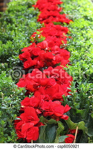 Red cyclamens in row - csp6050921