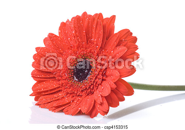 Red daisy-gerbera with water drops isolated on white - csp4153315
