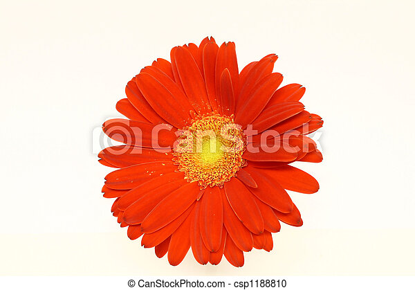 Red Daisy - csp1188810