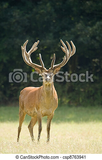 Red Deer - Cervus elaphus - csp8763941